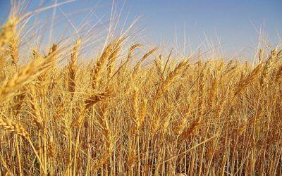 Domingo XVI (A): trigo y cizaña