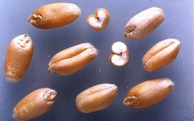 V Cuaresma: Si el grano de trigo no muere……