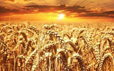 V Cuaresma (B): Si el grano de trigo…..