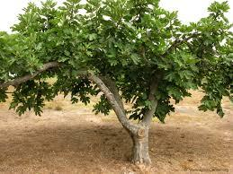 III Cuaresma (C): Hay que dar frutos